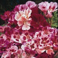 Godetia - Azalea Double flowered Strain - 750 seeds