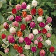 Gomphrena Qis Mixed - 30 seeds