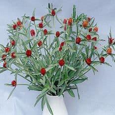 Gomphrena Strawberry fields - 100 seeds