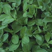 Green Manure - Field Beans 50 grams - 2kg
