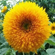 Helianthus annuus Dwarf Double - Teddy bear 50g Bulk Discounts available