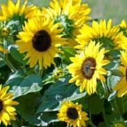 Helianthus annuus Sunspot Gold -  Appx 120 seeds