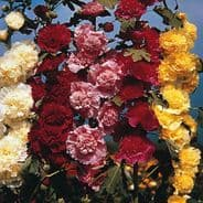 Hollyhock Chaters double mix - Alcea rosea - Appx 100 seeds - 1 gram