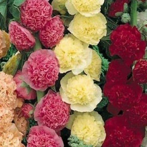 Hollyhock Summer Carnival Mix (Alcea rosea) 200 seeds