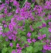 Honesty Purple - Lunaria annual - appx 150 seeds