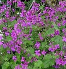 Honesty Purple - Lunaria annual - appx 150 seeds