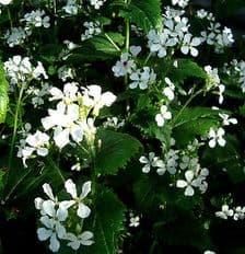 Honesty White - Lunaria annua alba - appx 150 seeds
