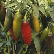 Hot Pepper - Chilli - Jalapeno