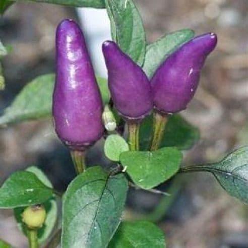 Hot Pepper - Purple Tiger 20 seeds / 50 seeds