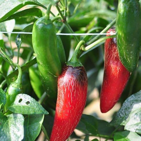 Hot Pepper - Serrano Tampiqueno