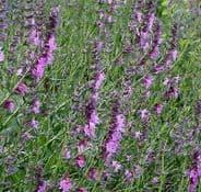 HYSSOP (Hyssopus officinalis) Pink Appx 200 seeds
