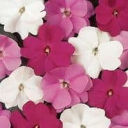 Impatiens Accent Mix - 20 seeds