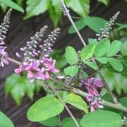 Indigofera amblyantha - 20 seeds - Pink flowered indigo