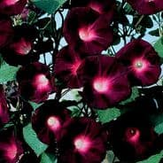 Ipomoea - Kniolas Black Knight - appx 100 seeds