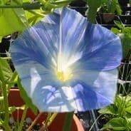 Ipomoea - Morning Glory - Flying Saucers - 150 seeds