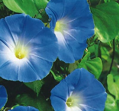 Ipomoea - Morning Glory - Heavenly Blue - 100 seeds / 500 seeds
