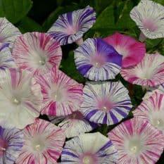 Ipomoea - Purpurea Carnevale Di Venezia - 15 seeds