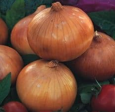 Japanese Onion - Senshyu yellow - Appx 200 seeds