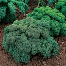 Kale - Dwarf Green Curled - Borecole - 25 grams Bulk Discounts available