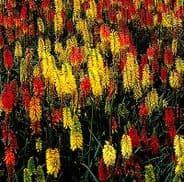 Kniphofia uvaria mix - Appx 200 seeds