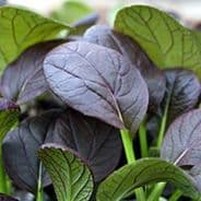 Komatsuna Red - 450 seeds