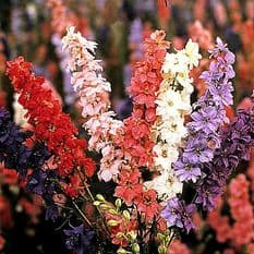 Larkspur Sublime Mixed - Appx 100 seeds