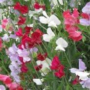 Lathyrus Latifolius  Mix - Everlasting Sweet Pea -  50 seeds