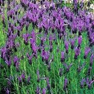 Lavender 'French'  min 25 seeds