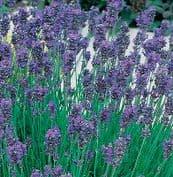 Lavender Munstead Dwarf 100 seeds / 500 seeds