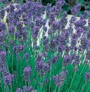 Lavender Munstead Dwarf 5 grams - Bulk Discounts available