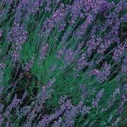 Lavender vera - Lavandula angustifolia - 200 / 800 seeds
