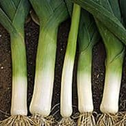Leek Winter Giant 3