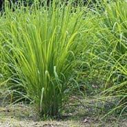 Lemon Grass (east Indian) 200 seeds - Herbs