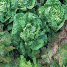 Lettuce All Year Round - Butterhead type - 10 grams - 1KG