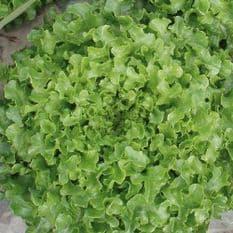 Lettuce Bionda a Foglia riccia Green - 2,400 seeds - Baby Leaf Type