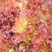 Lettuce Biscia Rossa - Red Italien lettuce - 3200 seeds