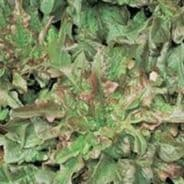 Lettuce 'Catalogna Rossa'