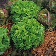 Lettuce Green Salad Bowl - 10 grams - 1KG