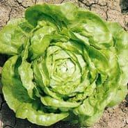 Lettuce Hilde II  Butterhead type - 25 Grams - Bulk Discounts available