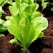 Lettuce Lobjoits Green - Cos type