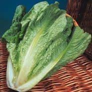 Lettuce Lobjolts - 10 grams - Bulk Discounts available