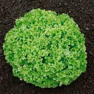 Lettuce Lollo Bionda 10 grams - Bulk Discounts available