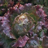 Lettuce Marvel of Four Seasons - 10 grams - 1KG