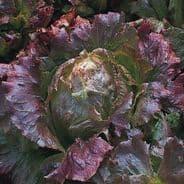 Lettuce Marvel of Four seasons 2000 seeds / 6000 seeds