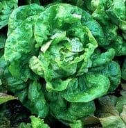 Lettuce Paris White Cos - Cos type