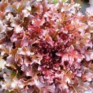 Lettuce Red Salad Bowl - appx 5000 seeds