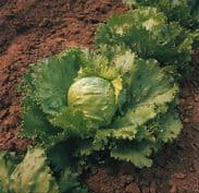 Lettuce Saladin - Iceberg Type - 2000 seeds - 4000 seeds
