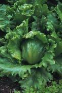 Lettuce Webbs Wonderful 1 Gramme Appx 900 seeds