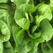 Lettuce Winterking - 3000 seeds