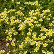 Limnanthes douglasii Poached Egg Flower - Appx 700 seeds
